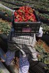 Cueillete fraises Espagne par immigrée marocaines