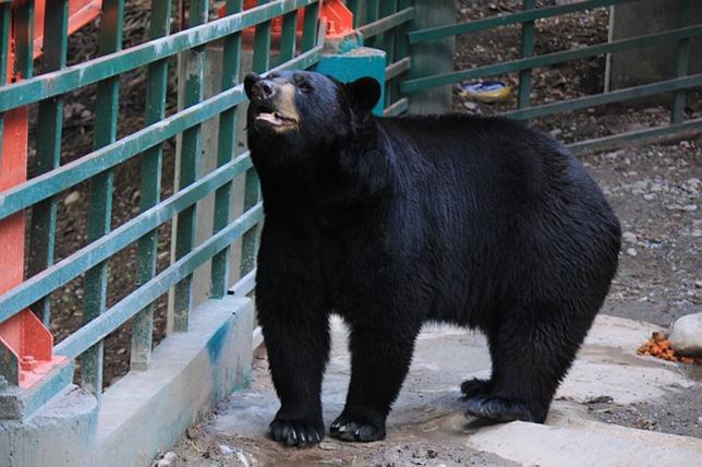 Ours noir en captivité