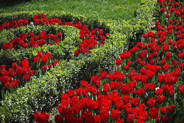 Tulipes rouges et buissons verts