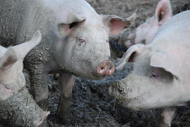 Porcs Boue