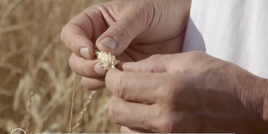 Épi de blé entre les mains d'un paysan
